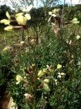 Canteiro de rúcula florido agosto 2017.