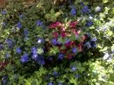 canteiro de perpétua e azulzinha muito florido. janeiro de 2018.