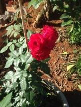 Primeiras rosas do vaso da entrada. Janeiro 2017.